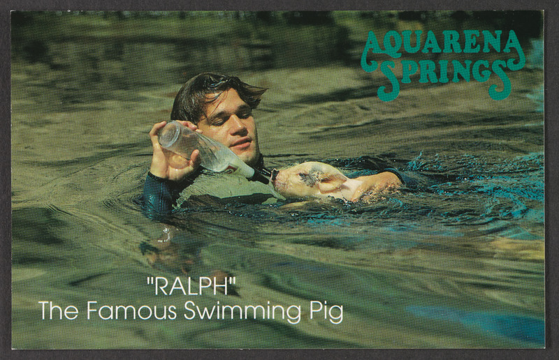 Ralph the Famous Swimming Pig